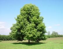 кое дърво има твърда дървесина Дървесина. видове дървесина, използвана в технологията на  кое дърво има твърда дървесина